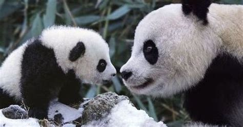 panda family enjoys the snow wildlife 1
