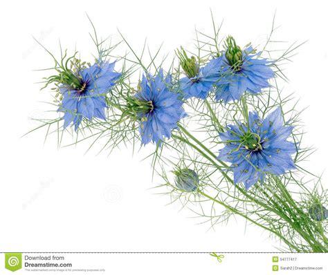 white cottage garden flowers in a mist nigella damascena blue flowers isolated