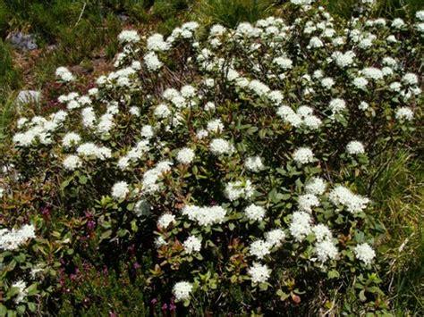 shrub with small white flower clusters alplains seed catalog iliamna to melodium