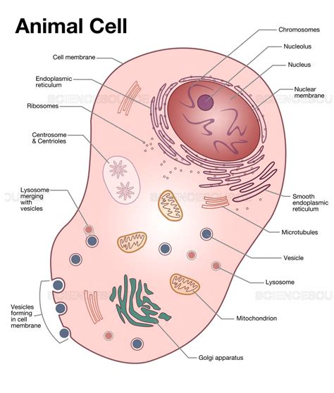 animal cell labeled diagram science source animal cell diagram