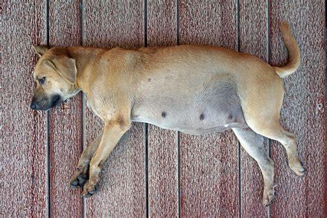 dog pregnancy symptoms  prenatal checkups