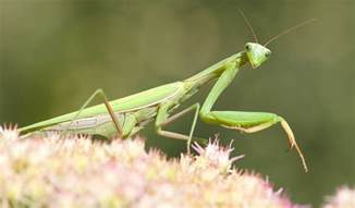 praying mantis garden pest how to attract beneficial bugs modern farmer