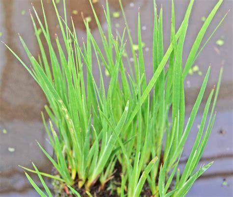 Balkon Sichtschutz Pflanzen 170 by Juncus Inflexus Blaugr 252 Ne Binse Teichpflanzen Wasser