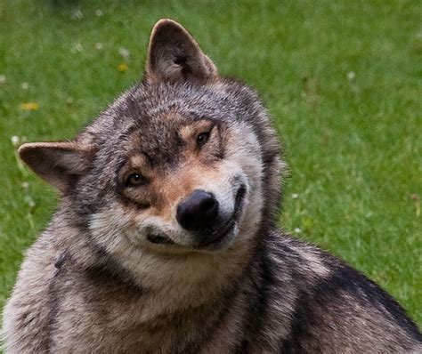 Smiling Wolf smiling wolf flickr photo