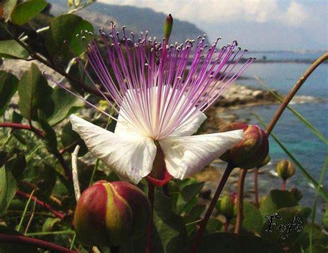 fiore siciliano le origini popolo siciliano di cecilia marchese