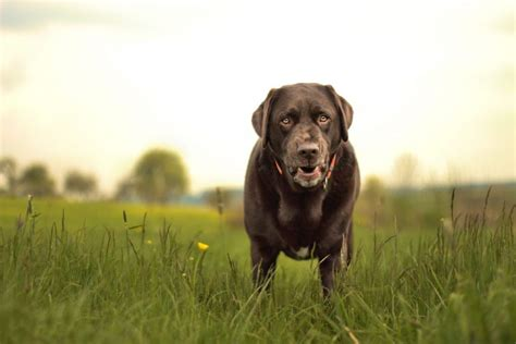 arthritis in dogs inflammatory arthritis in dogs causes management canna pet