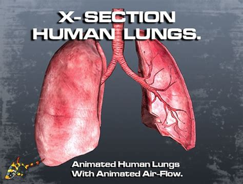 cross section animation 3d asset cross section human lungs cgtrader