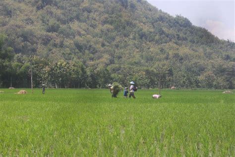Orang Sawah sundul langit orang sedang bekerja di sawah