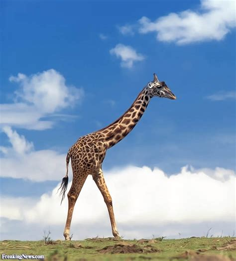 two legged two legged giraffe