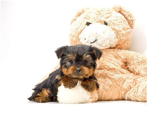 yorkie puppies cincinnati 17 best ideas about yorkie puppies for adoption on teacup yorkie for