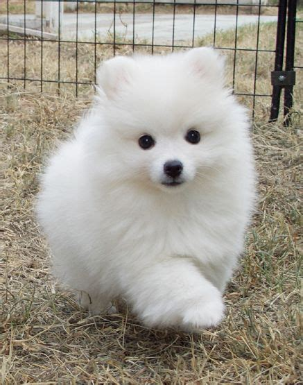 eskimo spitz puppy 25 best american eskimo puppy ideas on