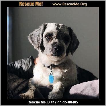 havanese rescue ct connecticut havanese rescue adoptions rescueme org