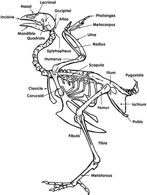 Part Pigeon Manual Corongbody animal science chicken dissection skeleton and bone