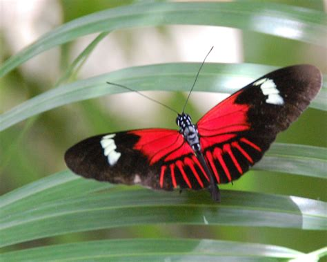 red and black butterflies red and black butterfly for pinterest red and black