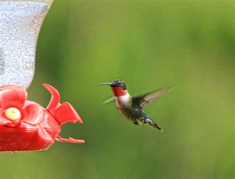 use grenadine and sugar water for hummingbird feeders