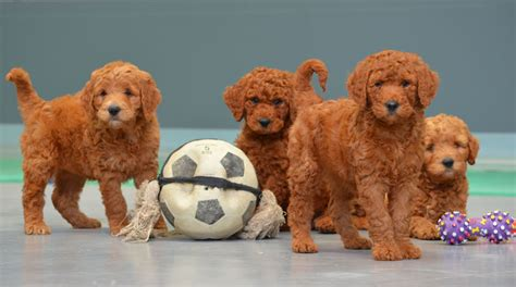 golden retriever x poodle puppies for sale golden retriever x poodle puppies for sale dogs in our photo