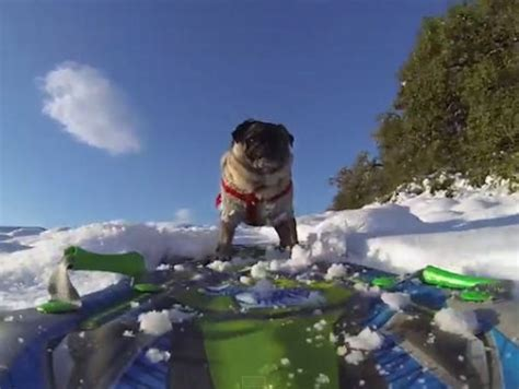 pug skiing where to ski and snowboard pug snowboards in california