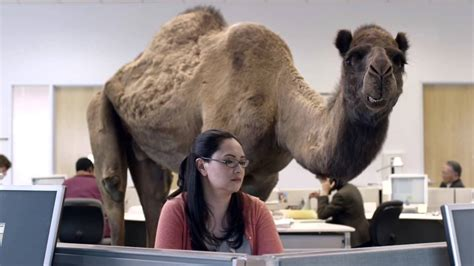 Geico Camel Commercial Hump Day | geico hump day camel commercial happier than a camel on