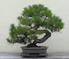file japanese black pine 1936 2007 jpg wikimedia commons