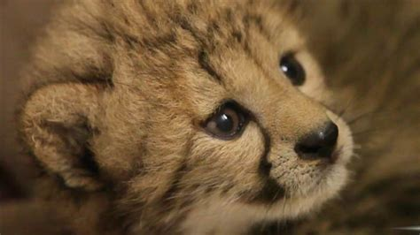 cheetah cub help name a and cheetah cub today