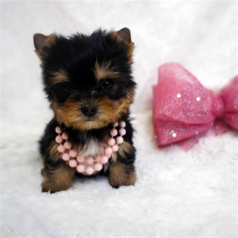female tiny puppy for sale barbie teacup yorkies sale