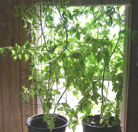 indoor tomato garden bug and worm repellents for tomato plants