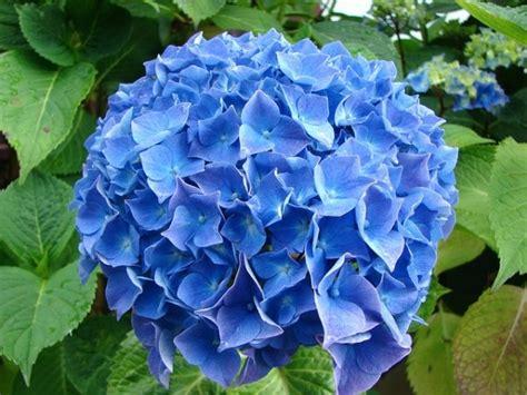 fiori ortensia ortensie con fiori azzurri cosa fare