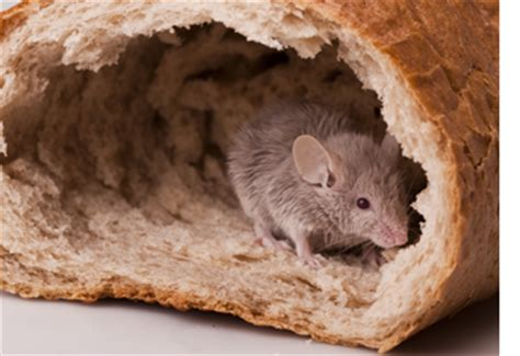 Mice In Pantry by Mouse Removal Montgomery County Pa Mouse