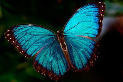 imagenes jpg mariposas image gallery morfo azul