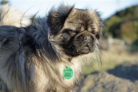 pug and papillon mix puppies wendy the papillon mix dogs daily puppy breeds picture
