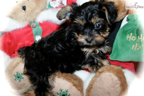 yorkie poo puppies for sale in sc shorkie puppies for sale in nc
