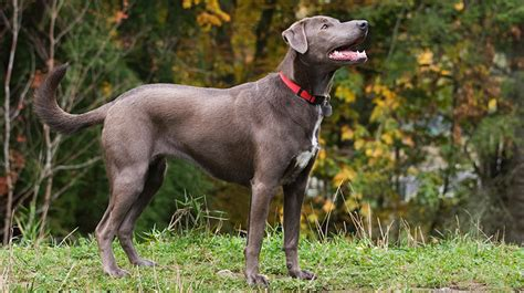 blue lacy puppy blue lacy info temperament puppies pictures