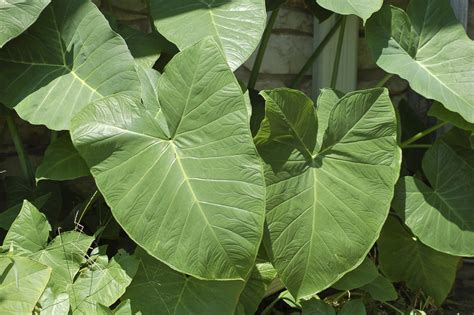 elephant ear plant by salsolastock on deviantart