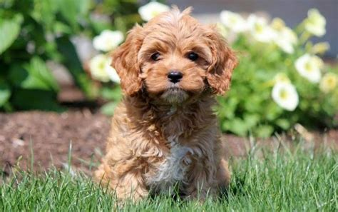 cavapoo puppies for sale in ga 1000 ideas about cavapoo puppies for sale on cavapoo puppies morkie