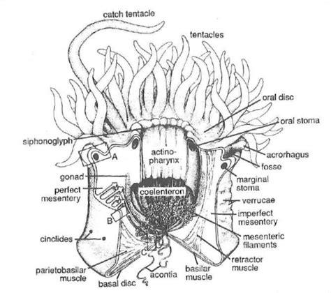 Metridium Diagram