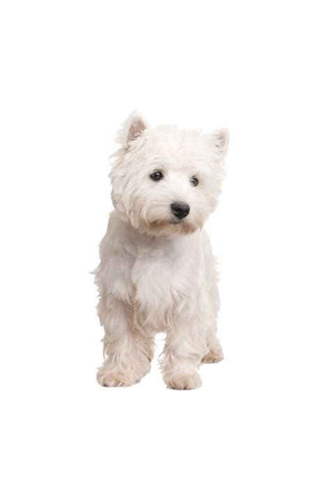 Autoaufkleber Hunderassen by Hunderassen Auto Aufkleber Westie West Highland Terrier