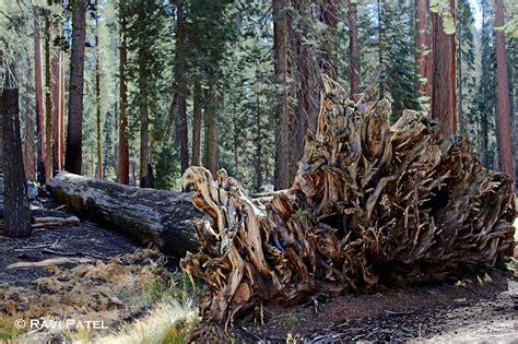 Bench Around Tree Sequoia Tree Photos By Ravi