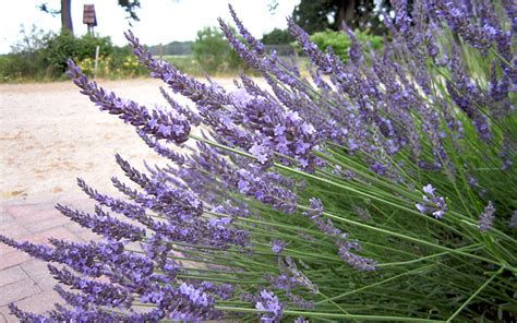 pflanzen der provence provence lavendel felibre pflanze lavandula x