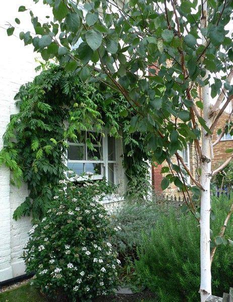 silver birch viburnum and wisteria in a tiny garden in