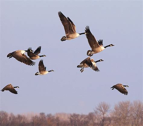 canada goose migration facts