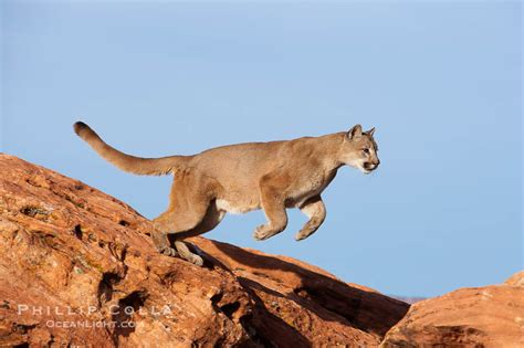 mountain lion leaping puma concolor photo
