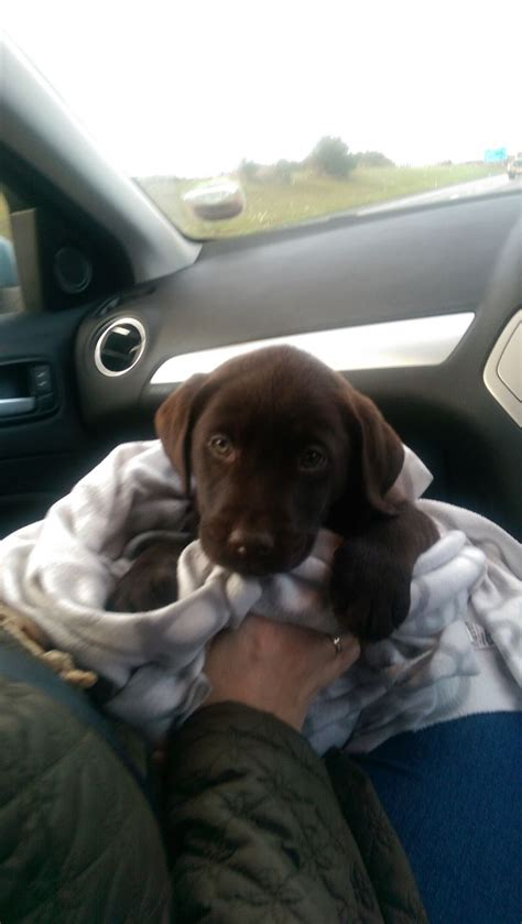 8 week puppy crate labrador puppy chocolate 8 weeks with crate dudley west midlands pets4homes