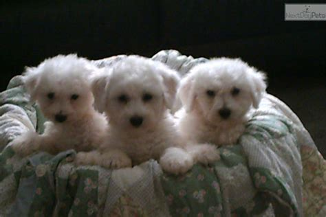 bichon frise puppies for sale in va bichon frise puppy for sale near roanoke virginia 68005def 5671