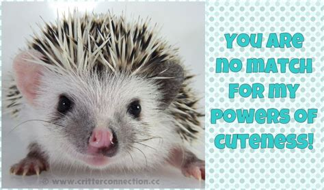 Hedgehog Meme - hedgehog hedgie cute meme millermeade breeder
