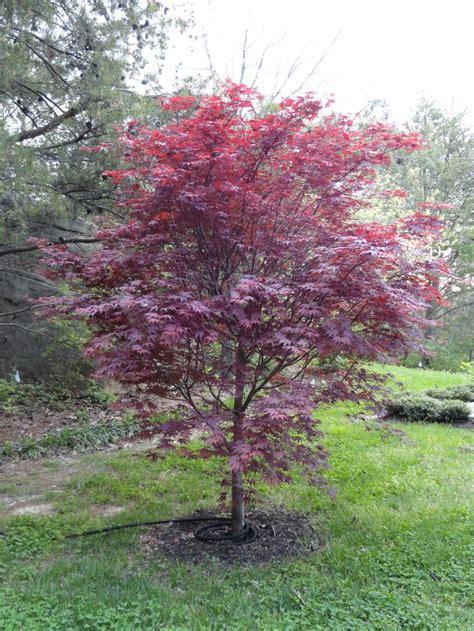 japanese bloodgood maple my garden pinterest