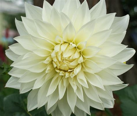Dahlia White dahlia white dinner plate photograph by georgette conrad
