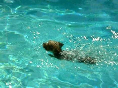 yorkie swimming in pool the yorkie swimming doovi