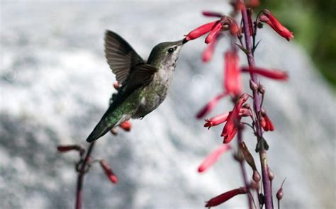 why do hummingbirds keep coming back to the same salvia