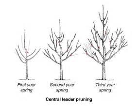 Apple Tree Trellis Diagram For Pruning Fruit Trees Diagram For Fermentation