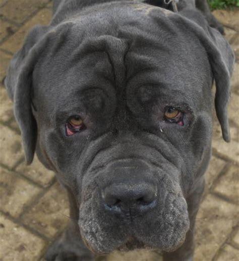 neapolitan mastiff puppies for adoption neapolitan mastiff breeders and neapolitan mastiffs for sale breeds picture